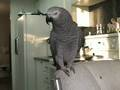 Beatboxing Parrot!