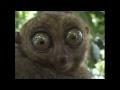 Dramatiskais lemurs satiek kaķus