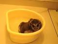 フクロウの水浴び