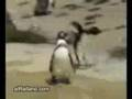 crazy penguin and lazy polar bear! Funniest thing ever