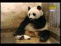 Panda shocked